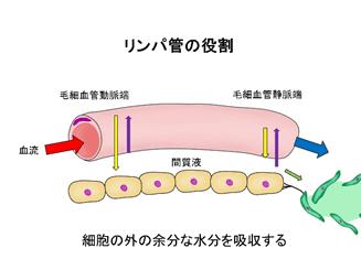 リンパ管の役割