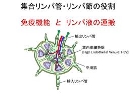 集合リンパ管・リンパ節の役割